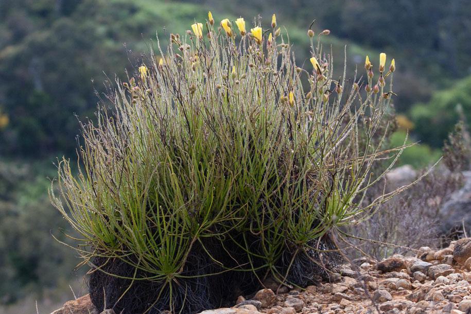 Drosophyllum das taublatt gesellschaft f r for Pflanzen im raum