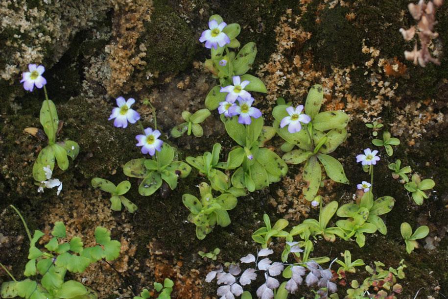 Gattungen gesellschaft f r fleischfressende pflanzen im for Pflanzen im raum